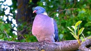Вяхирь: описание птицы