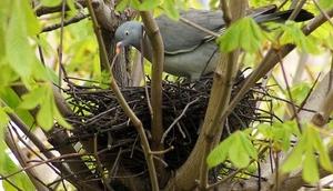 Особенности гнездования вяхиря
