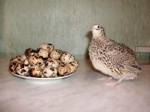 Перепелка и яйца   фото