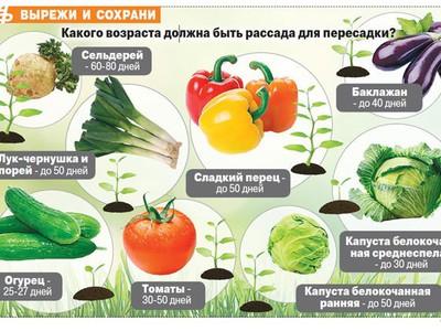 После чего сажают капусту белокочанную