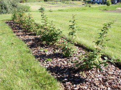 Посадка малины весной советы для новичков
