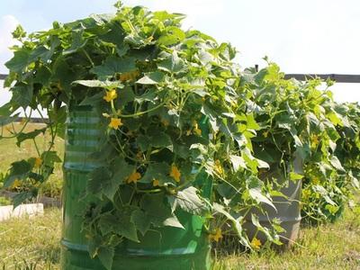 Выращивание огурцов в бочке. Правила выращивания огурцов в бочке, особенности ухода. Правила выращивания огурцов в бочке