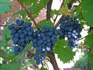 Чем хорошо сорт винограда