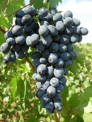 Как вырастить сорт винограда молдова