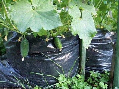 Секреты выращивания огурцов в мешках