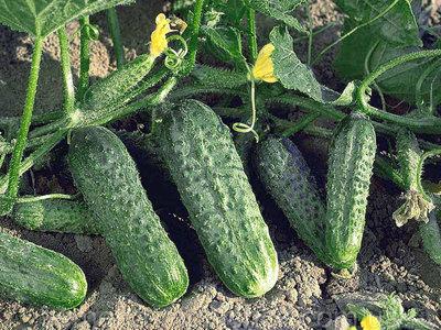 Самоопыляемые сорта огурцов для небывалого урожая