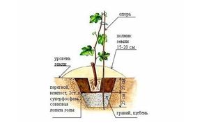 как правильно посадить виноград черенками весной