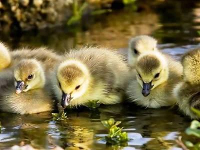 Как ухаживать за гусятами в первый день жизни