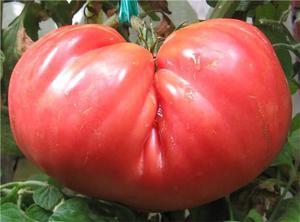 Характеристика и описание сорта томатов Розовый гигант