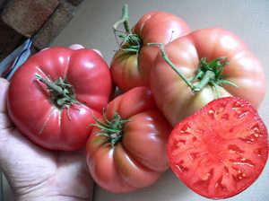 Характеристика томатов Розовый гигант