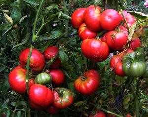 Краткая характеристика томатов Розовый гигант