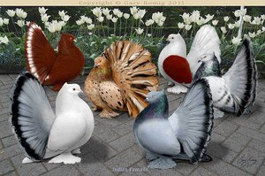 Названия декоративных пород голубей с фотографиями фото