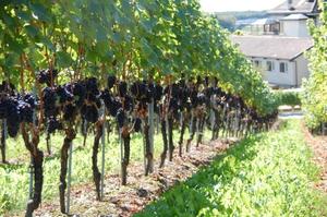 В какое время и как сажать виноград 40