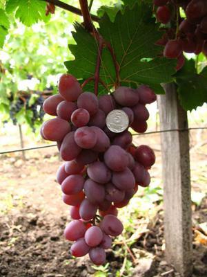 Сорт виноград