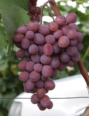 Как вырастить виноград виктория