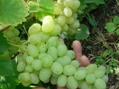 Сорт винограда Лора: его описание и уход, достоинства и недостатки, отзывы и фото