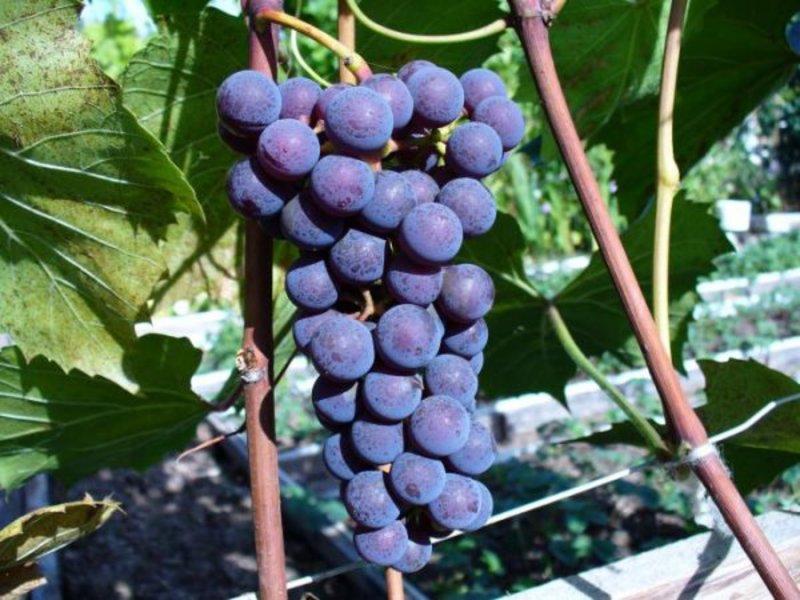 виноград альфа описание сорта фото вас