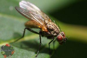 Луковая муха: как бороться с нею и какими средствами обрабатывать грядки?