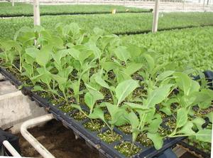 Как выращивают пекинскую капусту