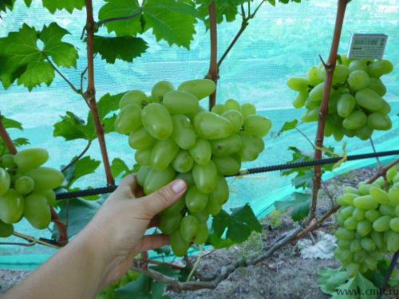 Виноград божена картинки