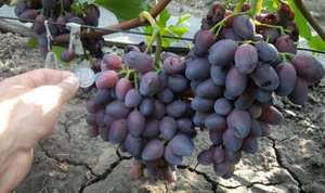 Виноград Красотка: характеристика и описание сорта