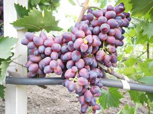 Виноград Красотка – это столовый сорт