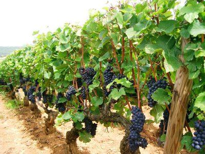 Какого полива требует молодой виноград