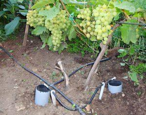Особенности подземного полива винограда весной