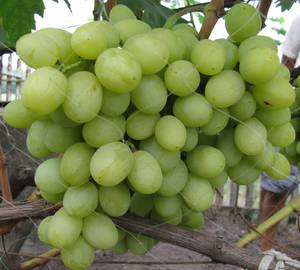 Виноградные саженцы Валек