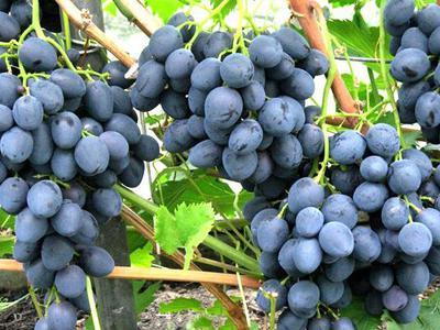 Гибридный сорт винограда Сфинкс — Sam-Village