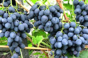 Виноград Сфинкс: описание сорта