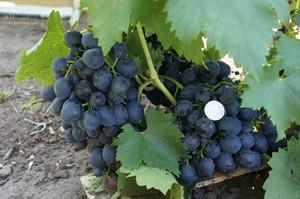 Когда созревает виноград сфинкс