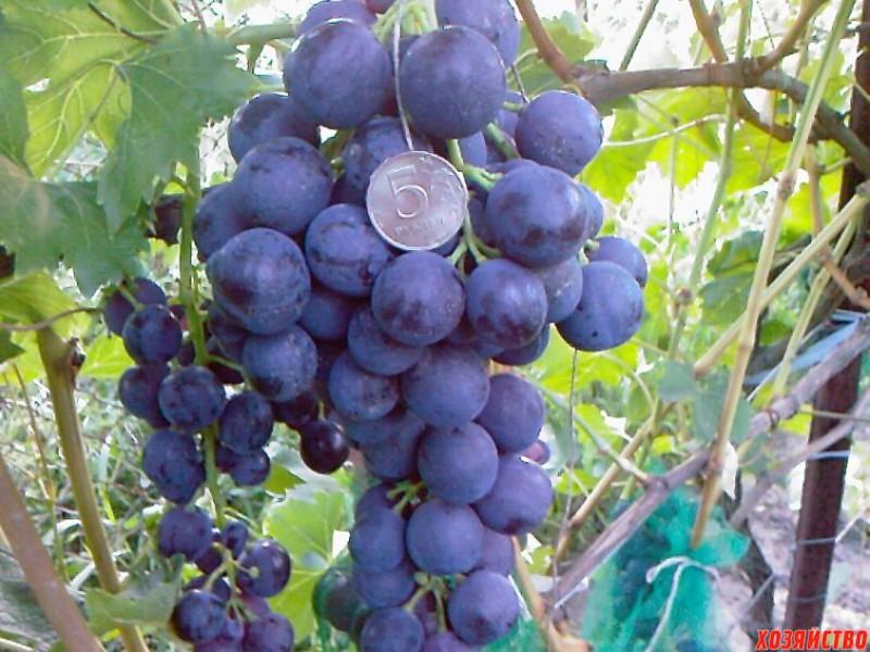 Виноград «Страшенский»: история сорта, описание, особенности посадки и ухода