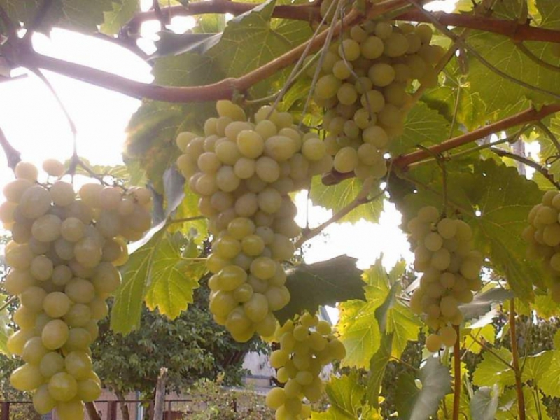 Главные особенности сорта винограда Августин.