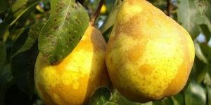 Как добиться урожая груши Дюшес