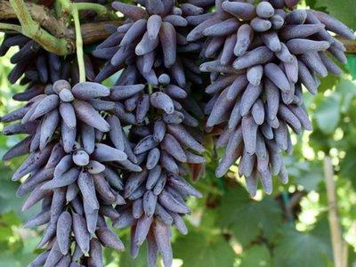 Необычный сорт винограда Ведьмины пальцы