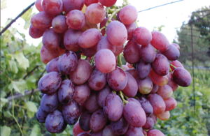 лучистый виноград