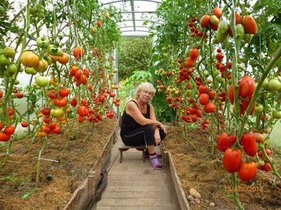 Как правильно сажать томаты в теплице
