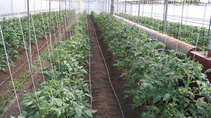 Какие сорта выращиваются в теплице
