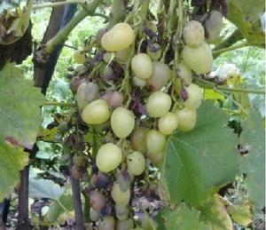 Болезни винограда сорта гарольд