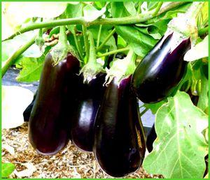 Как правильно выращивать баклажаны 26
