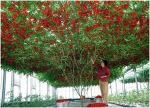 Сорт томатов Спрут