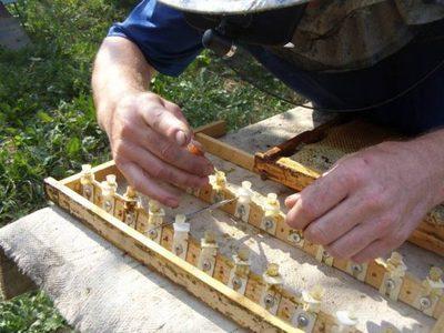 Способы вывода пчелиной матки