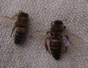 Лечение пчел