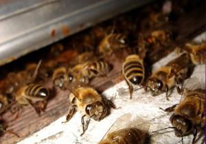 Причины заболеваний пчел