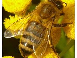 Как болеют пчелы