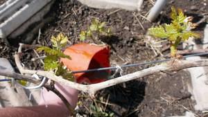 Как сделать подкормку для винограда