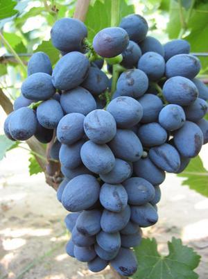 Как ухаживать за сортом винограда