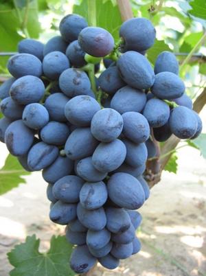 Вкус винограда забава