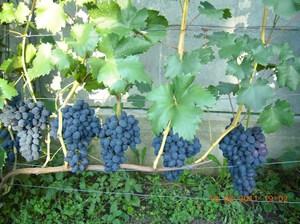 Размножение сорта винограда